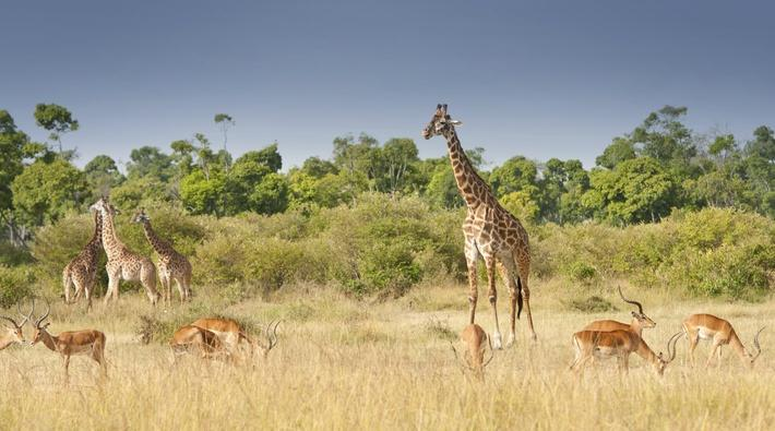 giraffes and impalas grazing in the savannah | Animals, Habitats, and Ecosystems