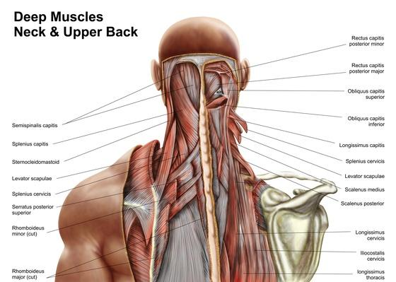 Human anatomy showing deep muscles in the neck and upper back | Science and Technology