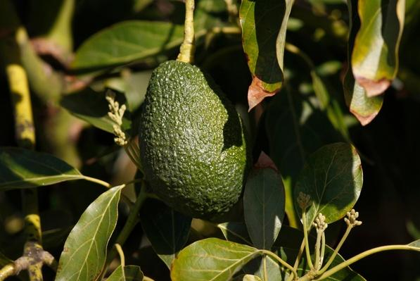 Chipotle Warns Climate Change Could Force Guacamole off Their Menu | Agriculture and Forestry