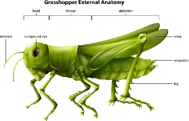 External anatomy of a grasshopper | Plants and Animals