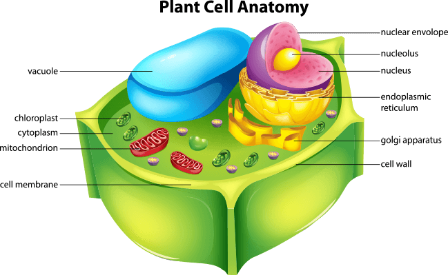 Plant cell anatomy | Plants and Animals