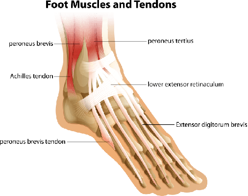 Foot Muscles and Tendons | Science and Technology