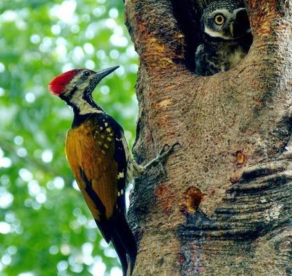 A Woodpecker and a Owl | Animals, Habitats, and Ecosystems