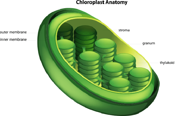 Choloroplast | Plants and Animals