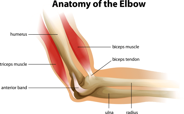 Anatomy of the human elbow | Science and Technology | PBS LearningMedia