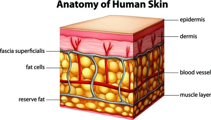 Human skin anatomy | Science and Technology