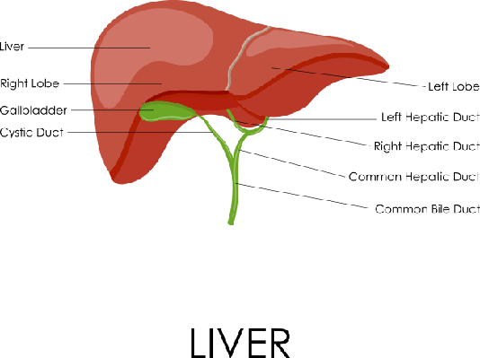 Human Liver Anatomy | Plants and Animals