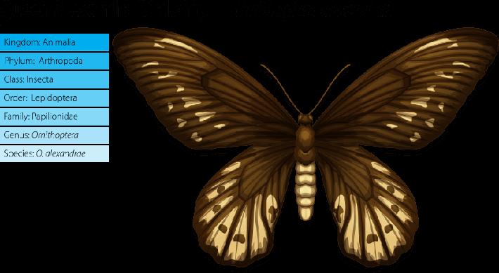 Queen Alexandra's birdwing | Plants and Animals
