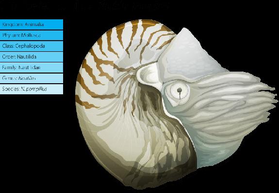 Nautilus -Nautilus pompilius   Plants and Animals