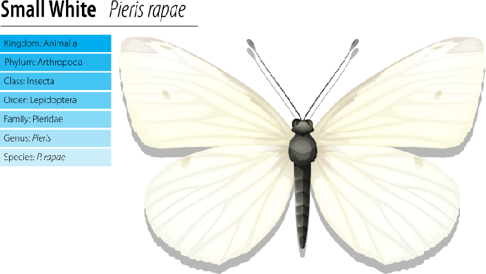 Small white - Pieris rapae | Plants and Animals