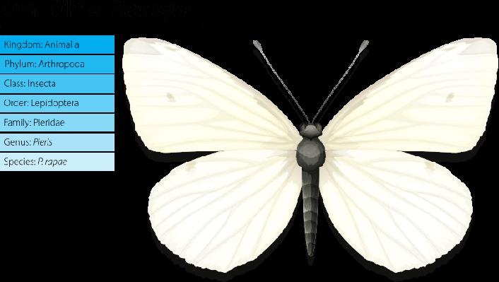 Small white - Pieris rapae | Plants and Animals