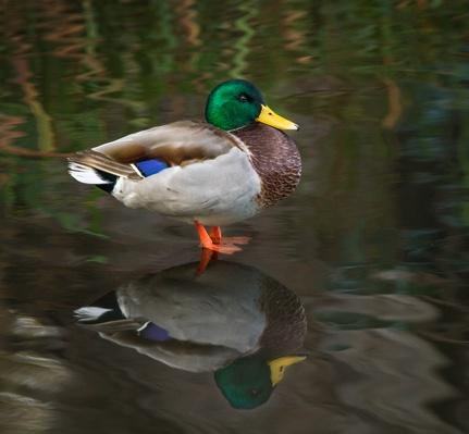 standing wild male Mallard Duck and his reflecton | Animals, Habitats, and Ecosystems