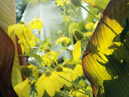 Yellow Flowers and Large Rubber Plant Leaves | Earth's Resources