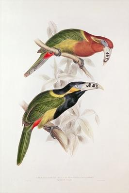 Spotted Bill Aracari, 19th century