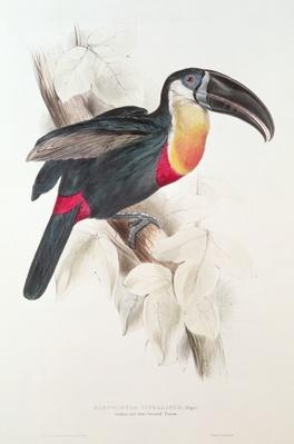 Sulphur and white breasted Toucan, 19th century