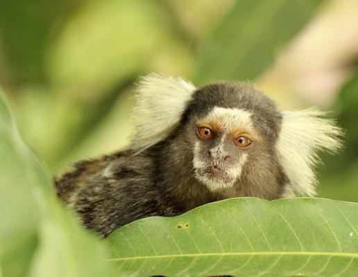 Marmoset | Animals, Habitats, and Ecosystems