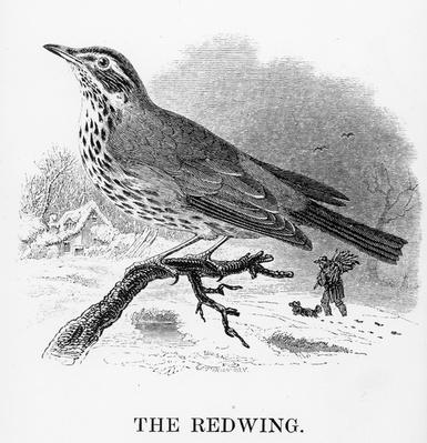 The Redwing, illustration from 'A History of British Birds' by William Yarrell, first published 1843