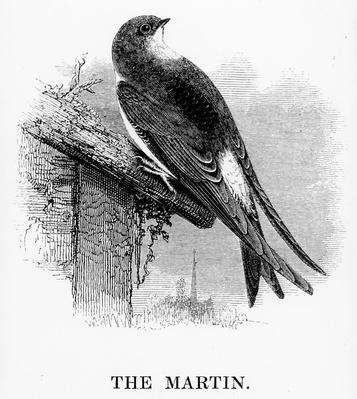 The Martin, illustration from 'A History of British Birds' by William Yarrell, first published 1843
