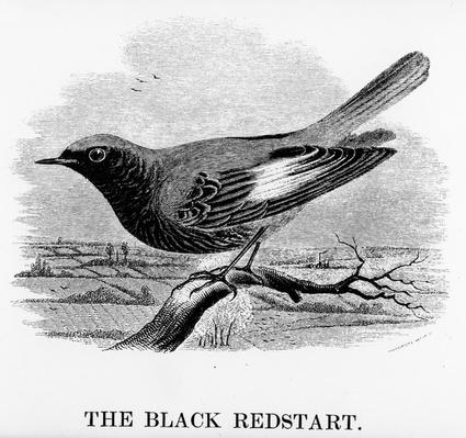 The Black Redstart, illustration from 'A History of British Birds' by William Yarrell, first published 1843