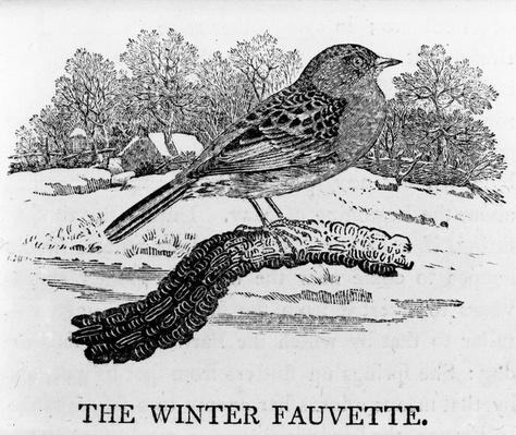 The Winter Fauvette, illustration from 'The History of British Birds' by Thomas Bewick, first published 1797