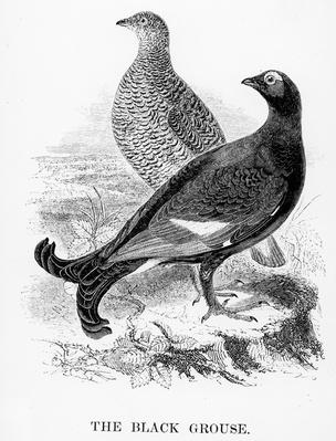 The Black Grouse, illustration from 'A History of British Birds' by William Yarrell, first published 1843