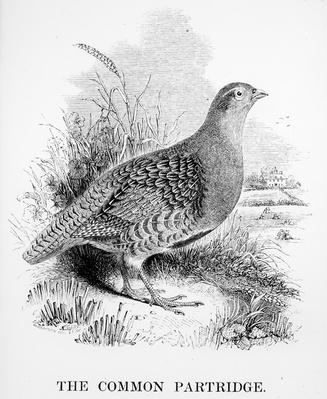 The Common Partridge, illustration from 'A History of British Birds' by William Yarrell, first published 1843