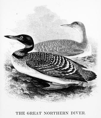 The Great Northern Diver, illustration from 'A History of British Birds' by William Yarrell, first published 1843
