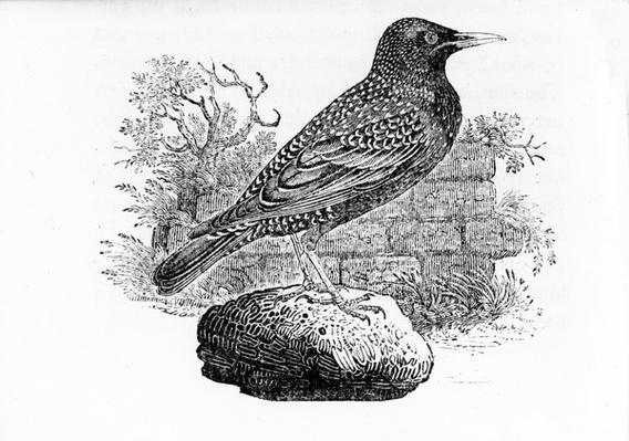 The Starling, illustration from 'The History of British Birds' by Thomas Bewick, first published 1797