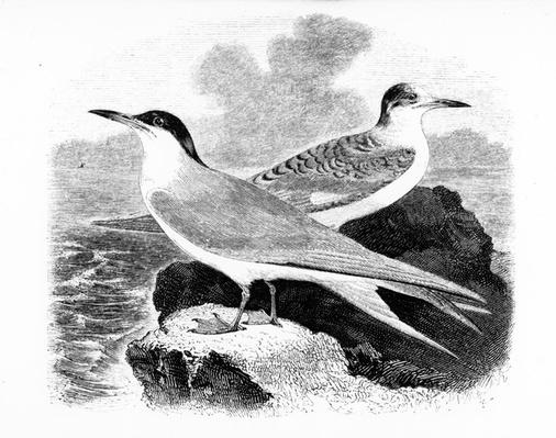 The Common Tern, illustration from 'A History of British Birds' by William Yarrell, first published 1843
