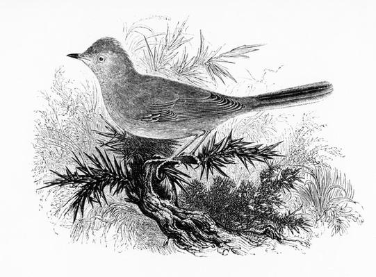 The Dartford Warbler, illustration from 'A History of British Birds' by William Yarrell, first published 1843