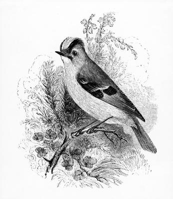 Golden Crested Regulus, illustration from 'A History of British Birds' by William Yarrell, first published 1843