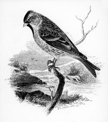 The Lesser Redpole, illustration from 'A History of British Birds' by William Yarrell, first published 1843