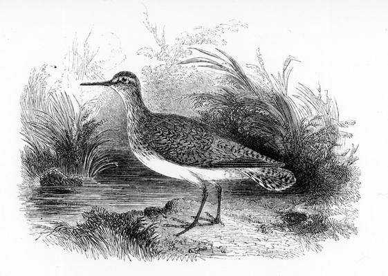 The Common Sandpiper, illustration from 'A History of British Birds' by William Yarrell, first published 1843