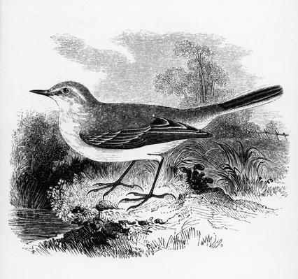 Ray's Wagtail, illustration from 'A History of British Birds' by William Yarrell, first published 1843