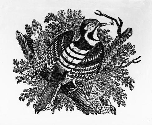 The Barred Woodpecker, illustration from 'The History of British Birds' by Thomas Bewick, first published 1797