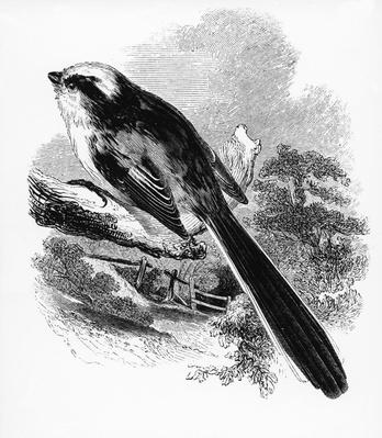 The Long-Tailed Tit, illustration from 'A History of British Birds' by William Yarrell, first published 1843