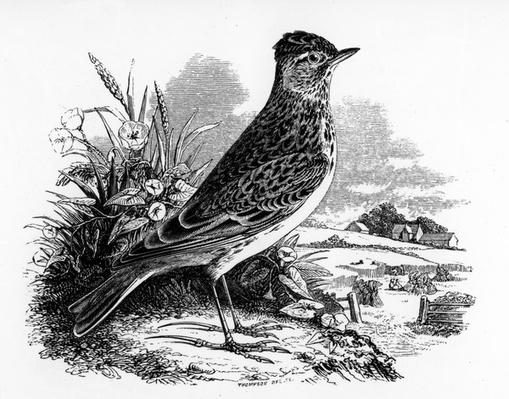 The Sky Lark, illustration from 'A History of British Birds' by William Yarrell, first published 1843