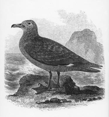 The Common Skua, illustration from 'A History of British Birds' by William Yarrell, first published 1843
