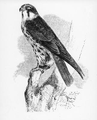 The Hobby, illustration from 'A History of British Birds' by William Yarrell, first published 1843