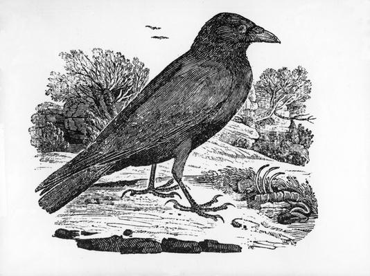 The Carrion Crow, illustration from 'The History of British Birds' by Thomas Bewick, first published 1797