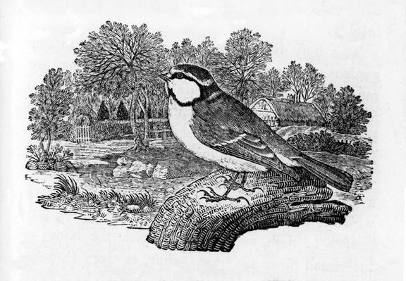 The Blue Titmouse, illustration from 'A History of British Birds' by Thomas Bewick, first published 1797
