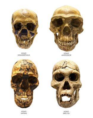 Fossil skull of Homo Erectus, Sapiens, Neanderthalis and Antecessor | Science and Technology