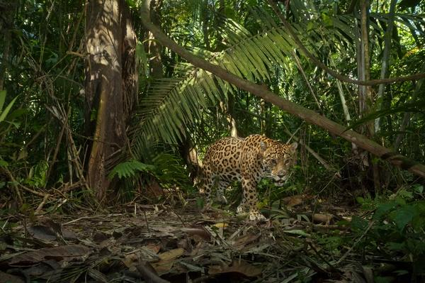 A jaguar on the hunt trips a camera trap | Animals, Habitats, and Ecosystems