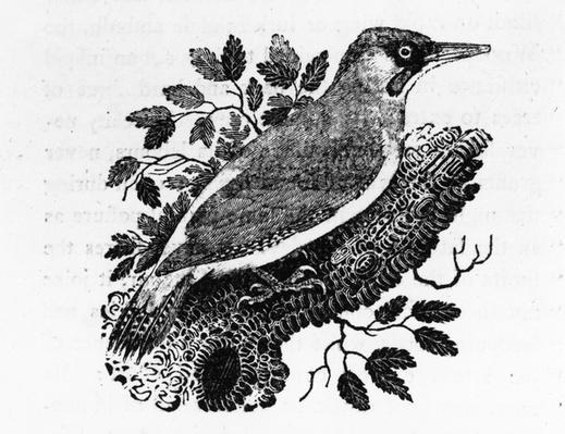 The Green Woodpecker, illustration from 'A History of British Birds' by Thomas Bewick, first published 1797