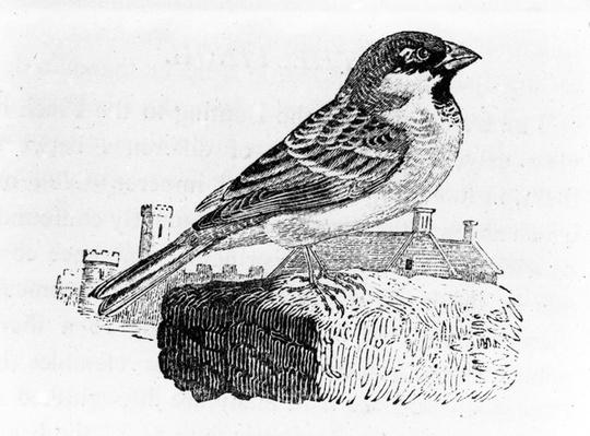 The House Sparrow, illustration from 'A History of British Birds', by Thomas Bewick, first published 1797