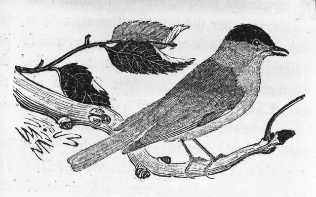 The Black-Cap, illustration from 'A History of British Birds' by Thomas Bewick, first published 1797