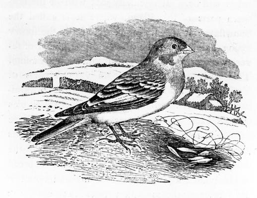 Tawny Bunting, illustration from 'A History of British Birds' by Thomas Bewick, first published 1797