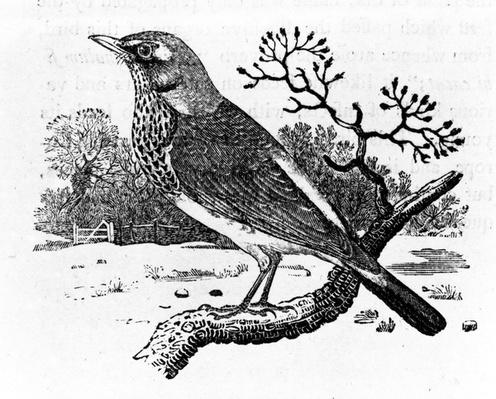 The Fieldfare, illustration from 'A History of British Birds' by Thomas Bewick, first published 1797