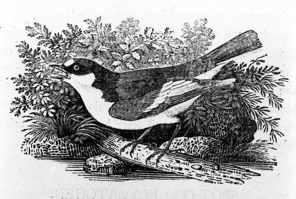 The Pied Flycatcher, illustration from 'A History of British Birds' by Thomas Bewick, first published 1797