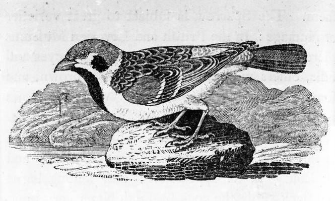 The Mountain Sparrow, illustration from 'A History of Birds' by Thomas Bewick, first published 1797